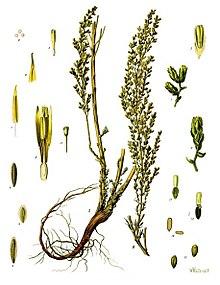 Artemisia cina - Köhler–s Medizinal-Pflanzen-165.jpg