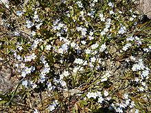 photo montrant quelques fleurs de myosotis poussant sur une rocaille. Les fleurs sont composées de 5 pétales mauves, jaunes à leur base