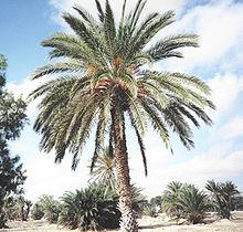 Palmier-dattier chargé de dattes avant la récolte.