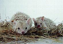 Deux hérissons à oreilles dressées et au pelage très clair.
