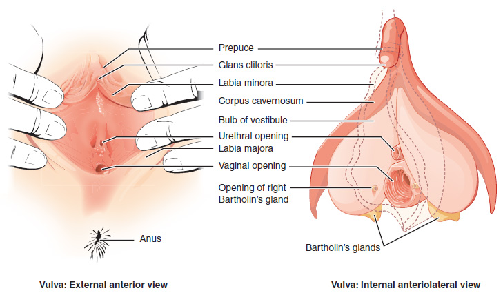 Labeled image of a vulva, showing external as well as internal structures.